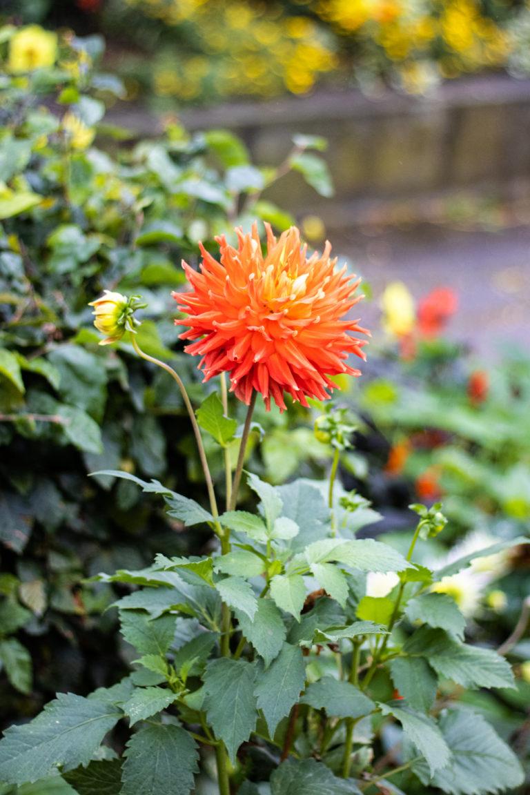 En av høstens siste blomster
